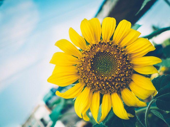 Sonnenblume - Intervalle, leicht erklärt